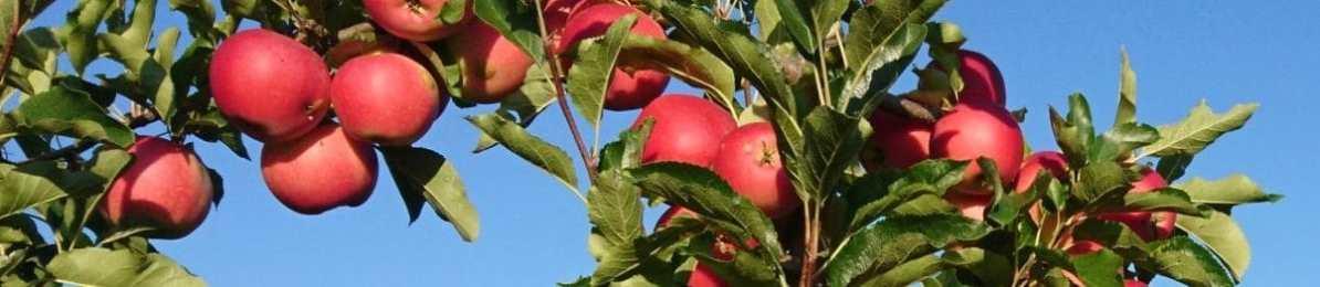 Zweig mit reifen Äpfeln