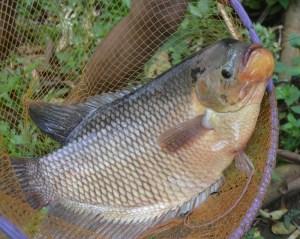 penyebab ikan bau tanah