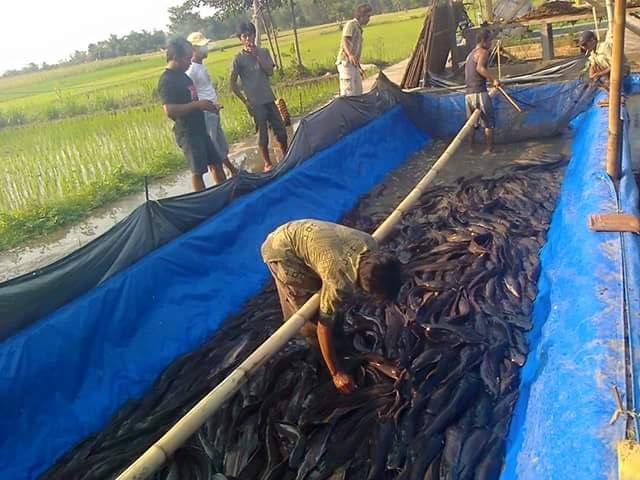 Sukses Ternak Ikan Lele di Kolam Terpal + Gurame