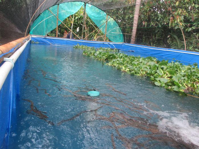 #1 WAJIB TAHU! Ini Dia Budidaya Ikan Nila di Kolam Terpal