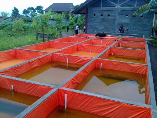 budidaya di kolam tembok dengan media terpal