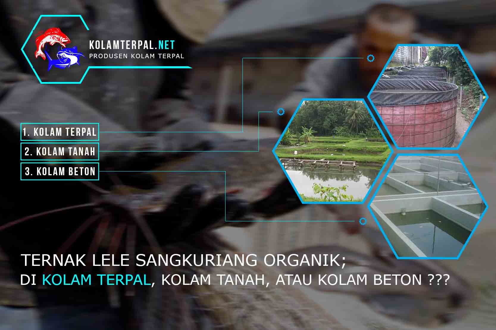 ternak-lele-sangkuriang-organik-kolam-terpal-beton-pemula