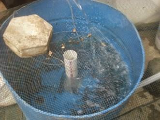 kolam drum
