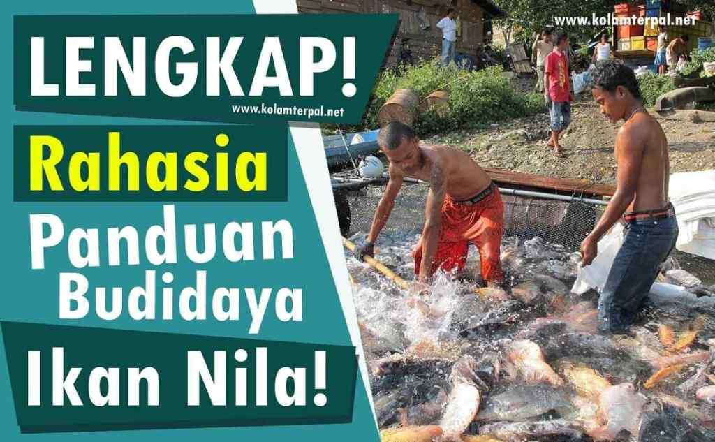 Panduan Lengkap Budidaya Ikan Nila