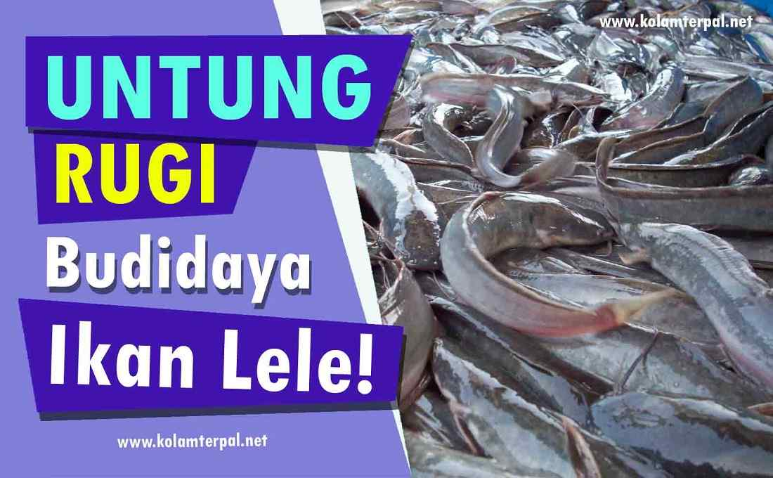 1 Wajib Tahu Ini Untung Rugi Budidaya Ikan Lele