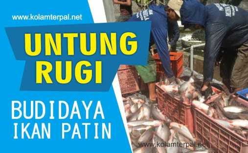 Untung Rugi Budidaya Ikan Nila