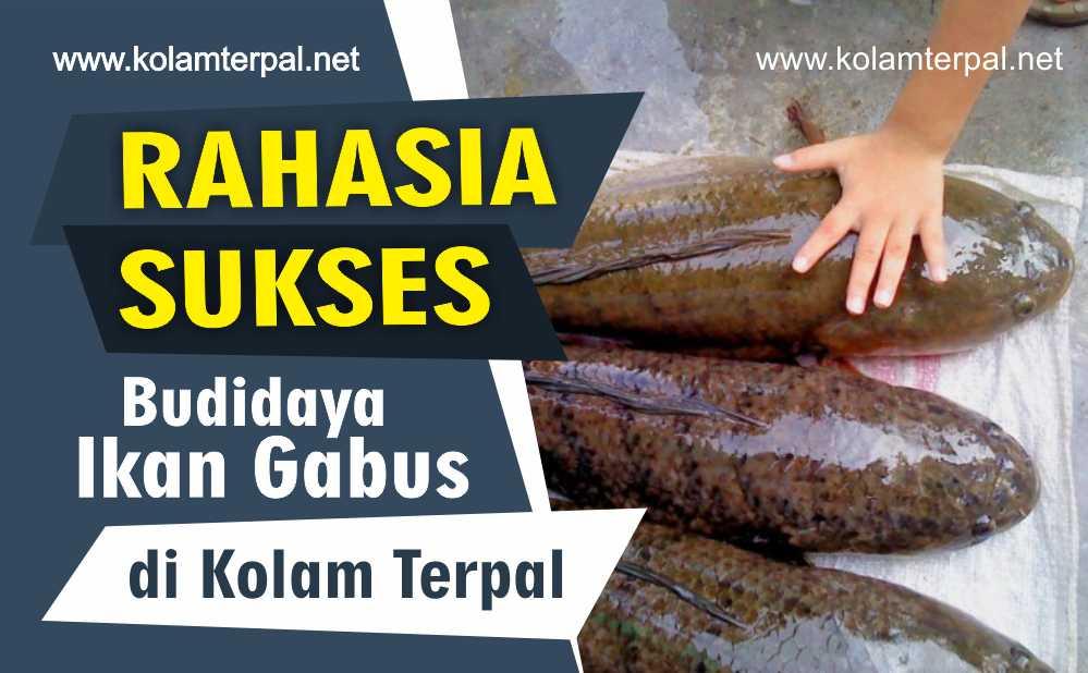 Ini Rahasia Sukses Budidaya Ikan Gabus di Kolam Terpal!