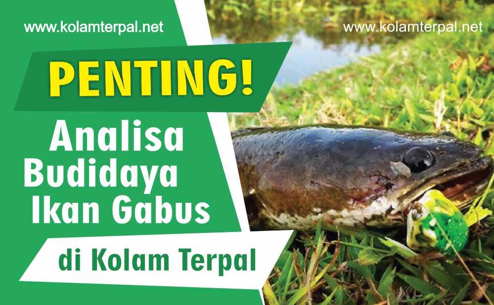 1 Penting Analisa Budidaya Ikan Gabus Metode Kolam Terpal