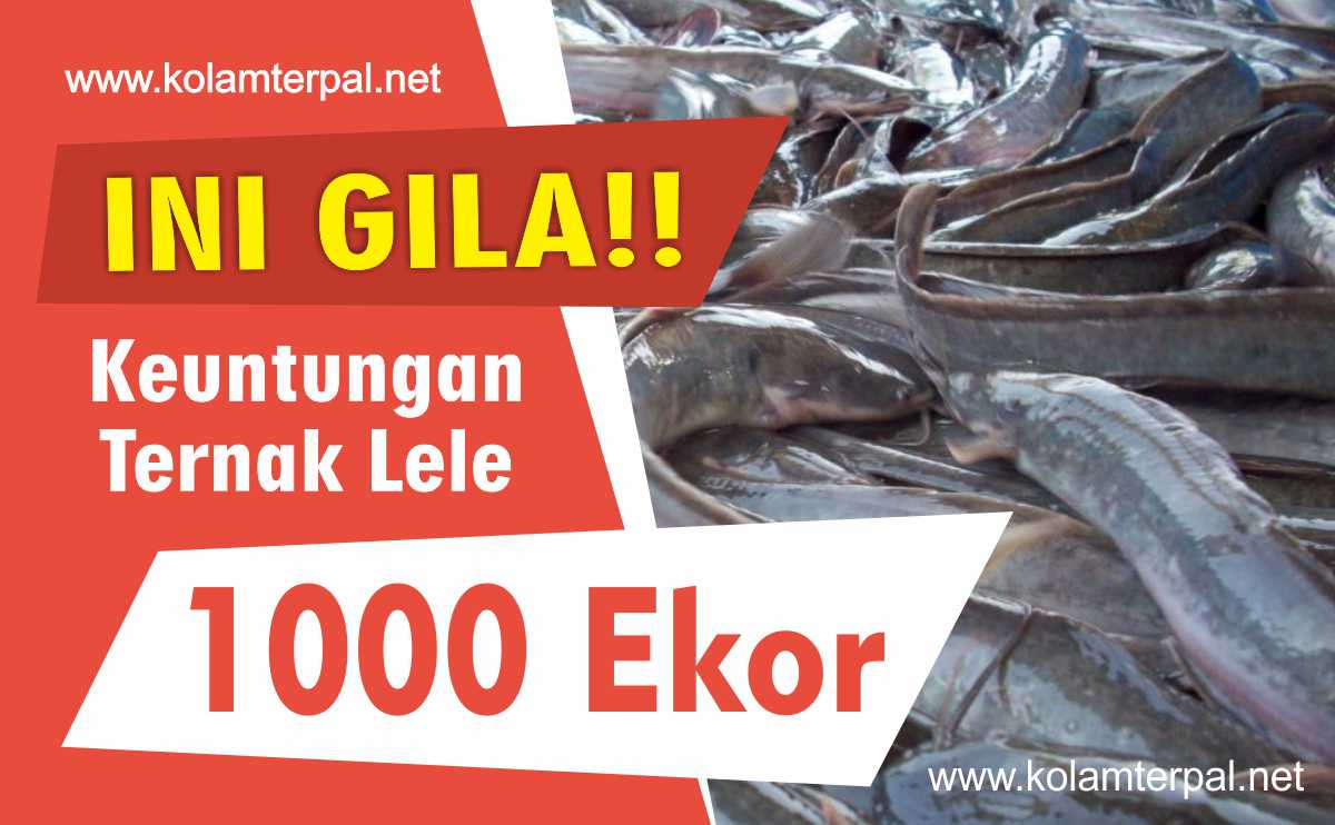 GILA! Ini Keuntungan Ternak Lele 1000 Ekor