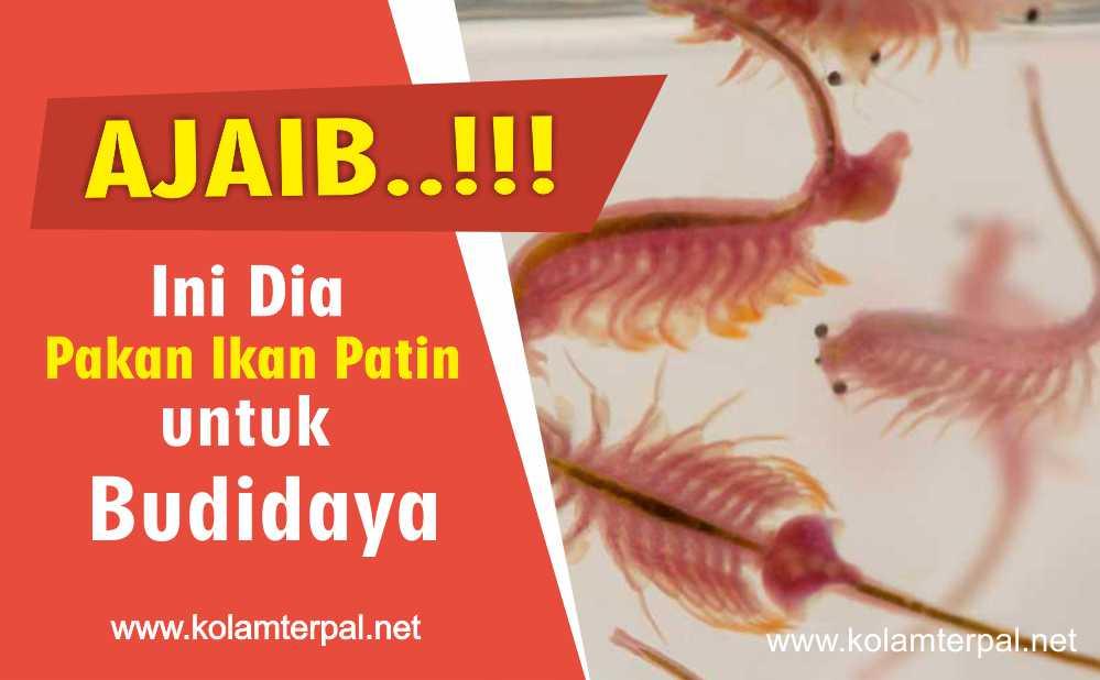 Ajaib Ini Dia Pakan Ikan Patin Paling Di Minati
