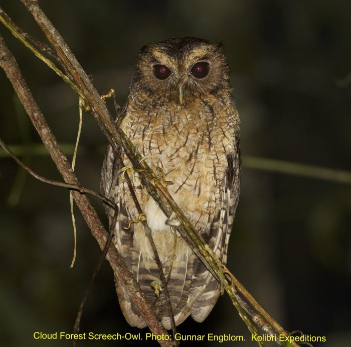 Cloud-forest Screech-Owl - Hacienda Armorique. Gunnar Engblom