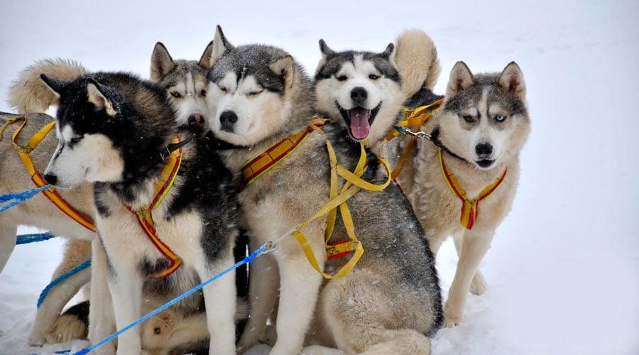 Катання на собачих упряжках