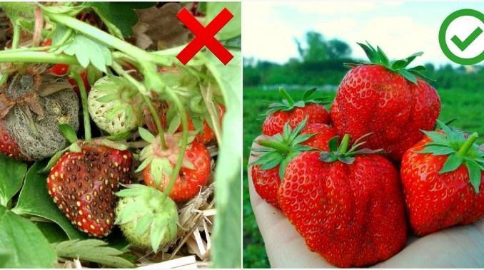 Порада: як врятувати урожай полуниці від гнилі в дощовий сезон