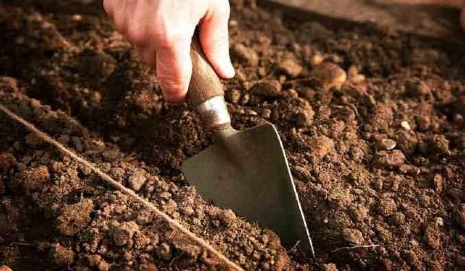 Як правильно садити кріп в липні та серпні