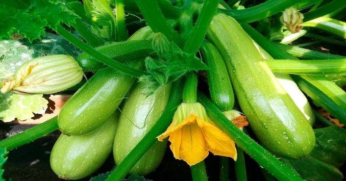 Хитрощі та поради швидкого зростання кабачків від досвідчених городників