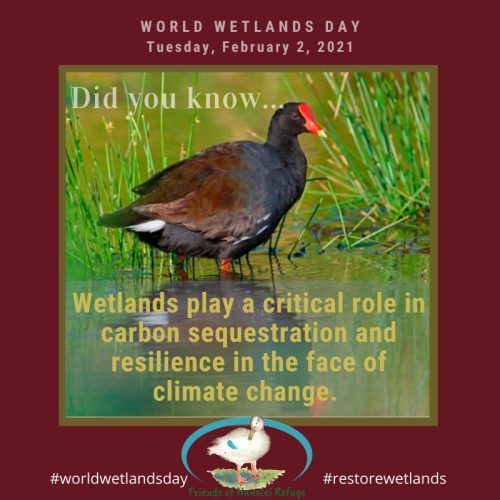 Text Graphic: Did you know: Wetlands play a critical role in carbon sequestration and resilience in the face of climate change. Graphic was created the Friends of Hanalei Refuge for 2021ʻs World Wetlands Day.