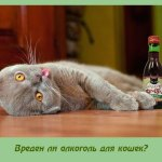 Вреден ли алкоголь для кошек?