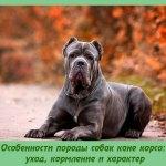 Особенности породы собак кане корсо: уход, кормление и характер