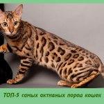 ТОП-5 самых активных пород кошек