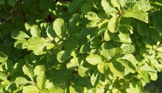 においこぶし(Anise magnolia)