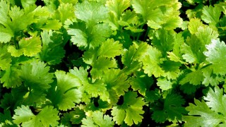 coriander-herb-leaves