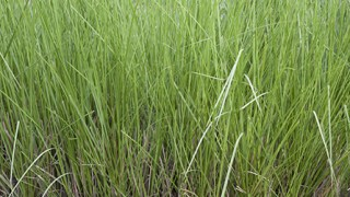 Vetiver Grass or Vetiveria zizanioides