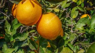 Organic orange, orange citrus fruits on tree