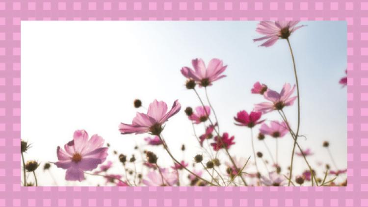 コスモスの花の画像