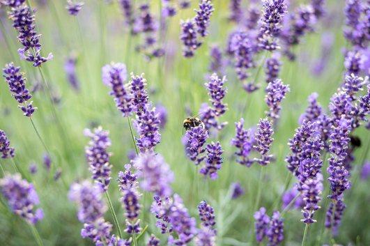"""Peer Pfütze """"Lavendel"""""""