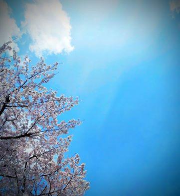 桜01 2016年4月2日