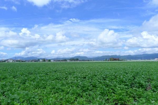 神埼の大豆畑 2013年9月8日