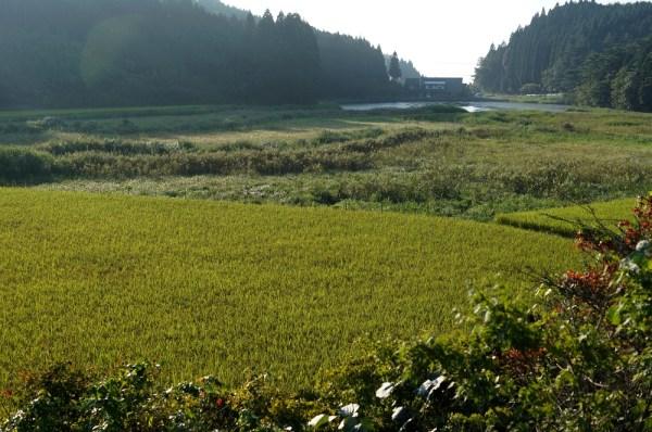 七山コシヒカリの圃場