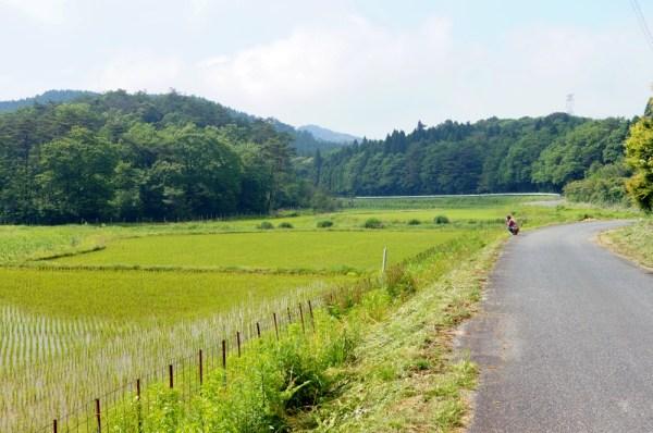 七山コシヒカリ圃場 2015年