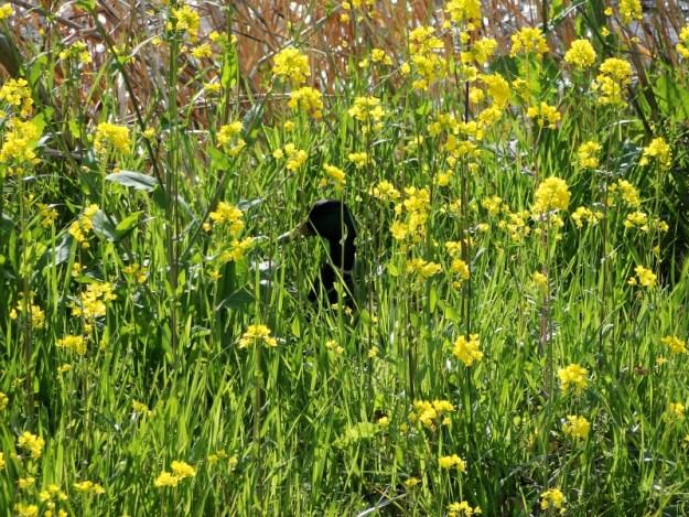 菜の花と合鴨の写真