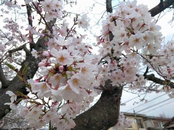 桜:広角側で撮影