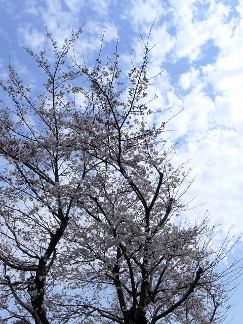 お隣の桜の写真 2012-03-30