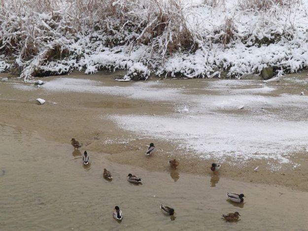樋井川の合鴨の写真 2012年2月19日