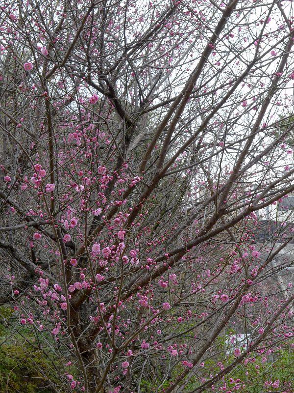 小笹の梅の写真 2012-02-21