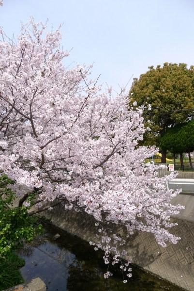 桜02 2016年4月2日