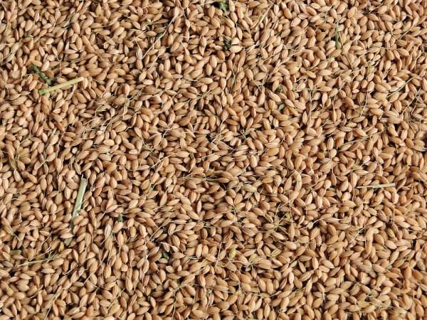 刈り取ったばかりの籾