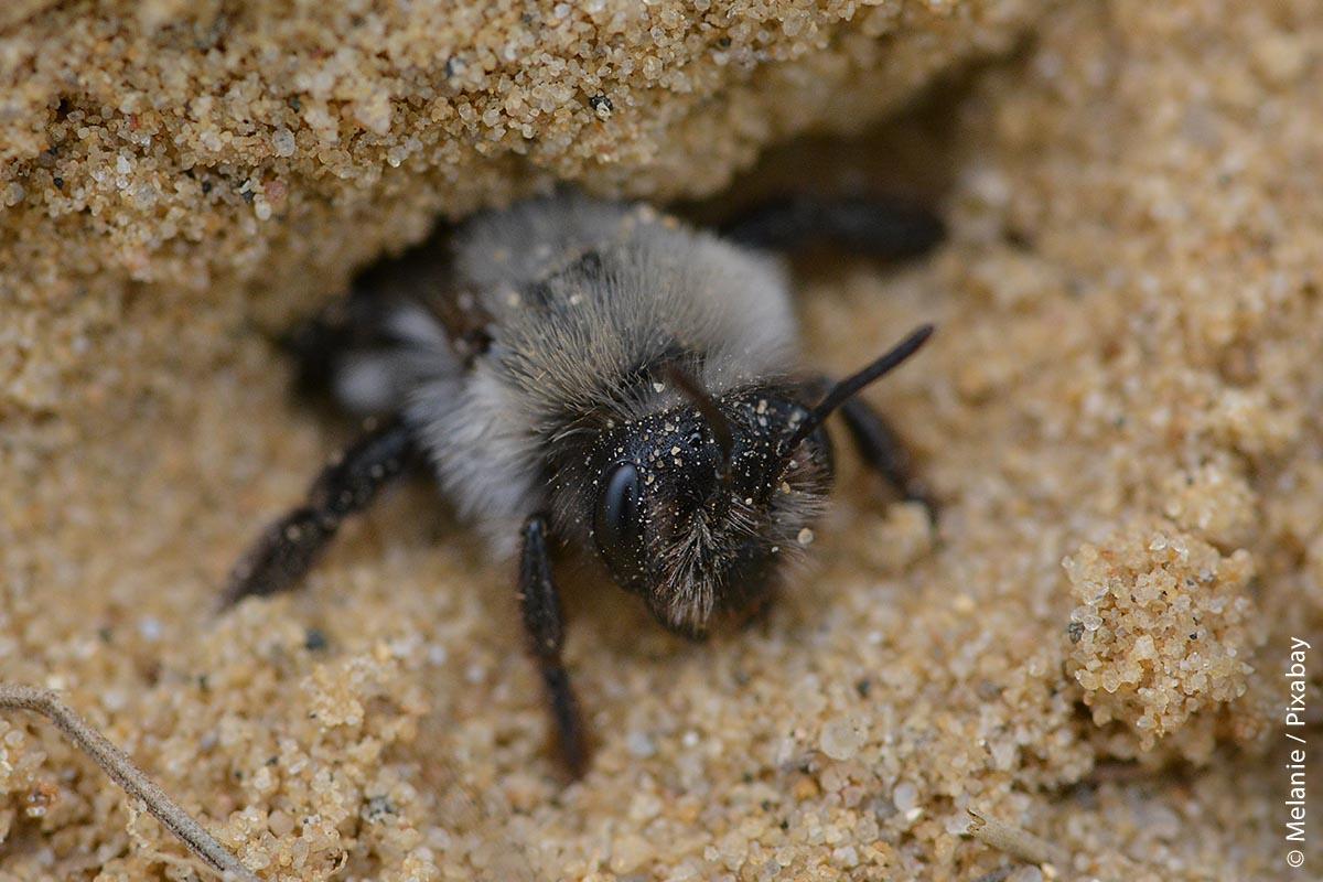 Eines sollte man sich jedoch klar machen: Nur einem kleinen Teil der solitär lebenden Wildbienen ist mit hölzernen Nisthilfen zu helfen. Die meisten von Ihnen – wie auch diese Graue Sandbiene – legen ihre Niströhren lieber im trockenen, sandigen Boden an. Von daher wäre eine kleine Ecke mit sandigem Boden an einer sonnigen Stelle im Garten fast noch sinnvoller.