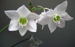 Euharicis Blossom.