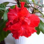 HIBICIUS (čínská růže) - Příčiny žloutnutí listu