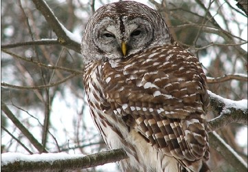 Feds To Start Shooting Barred Owls In Pacific Northwest Komo