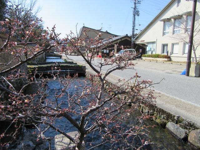 京都北山の梅