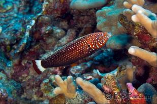Female Psychedelic Wrasse by Bo Pardau