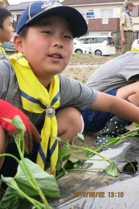 さつま芋の苗植え