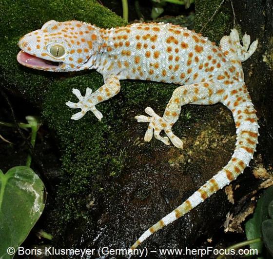 Gekko-gecko-03000027659_01