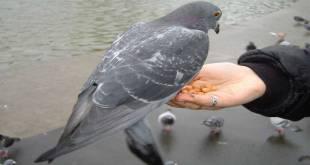 Un pigeon a Venice, en train de manger de la graine sur la main de quelqu'un.