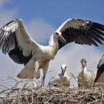 Storchs